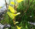 春天的嫩芽