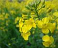 春天的油菜花